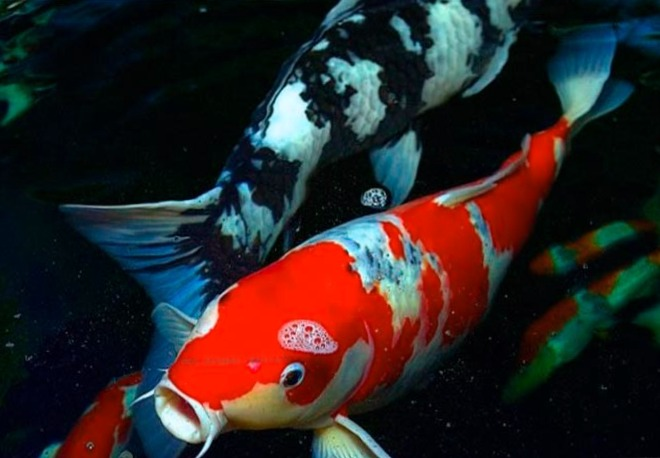 Pez bagre donde vive tama o y pesca de pez bagre for Peces koi baratos