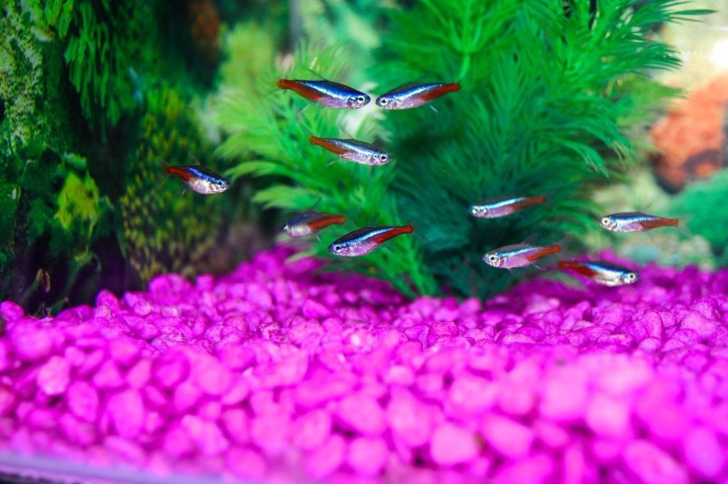 Pez neon tama o donde y cuanto viven los peces neon for Peces de pecera