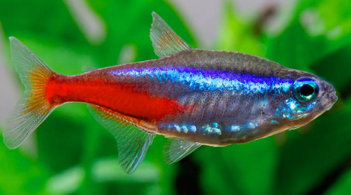 pez neon tama o donde y cuanto viven los peces neon