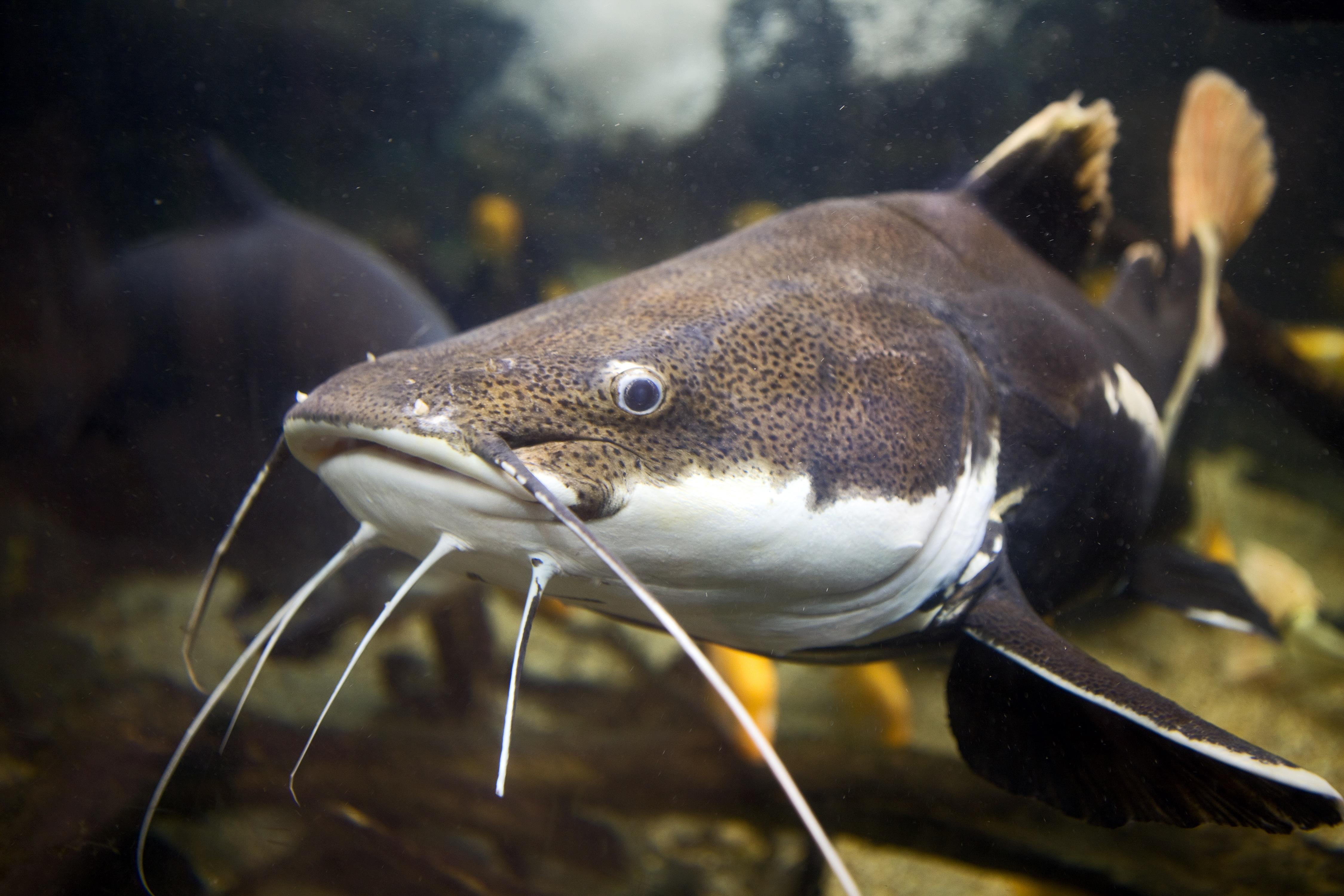 PEZ BAGRE - Donde vive, tamaño y pesca de pez bagre