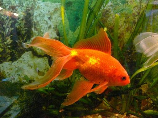 pez japones donde vive cuanto vive y que come el pez
