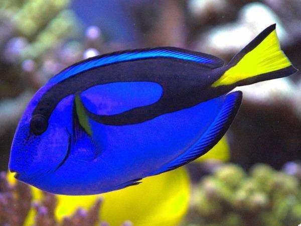 Peces de agua salada 17 especies caracter sticas y cuidados for Fuentes de agua con peces