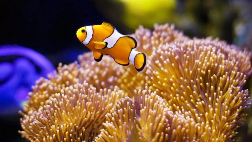Peces de agua salada 17 especies caracter sticas y cuidados for Especies de peces