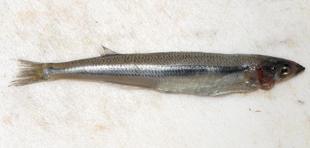 PEZ CORNALITO | Caracteristicas, hábitat, reproducción y su pesca
