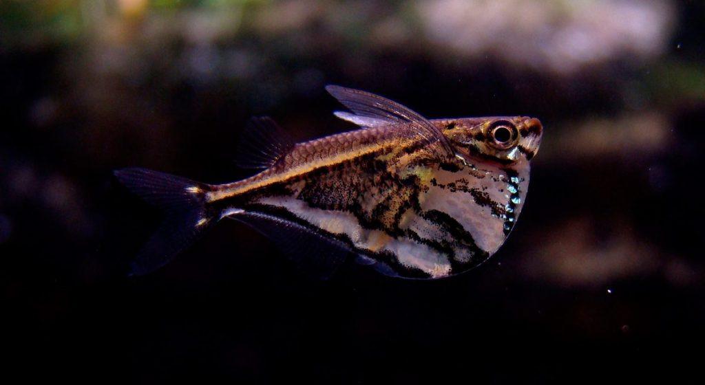 Resultado de imagen para pez hacha marmol