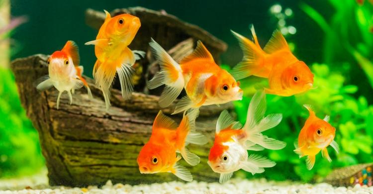 Peces de agua dulce 14 especies caracter sticas y cuidados for Peces agua dulce