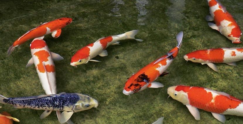 Pez koi cuanto vive que come y donde vive el pez koi for Plantas para estanque peces koi
