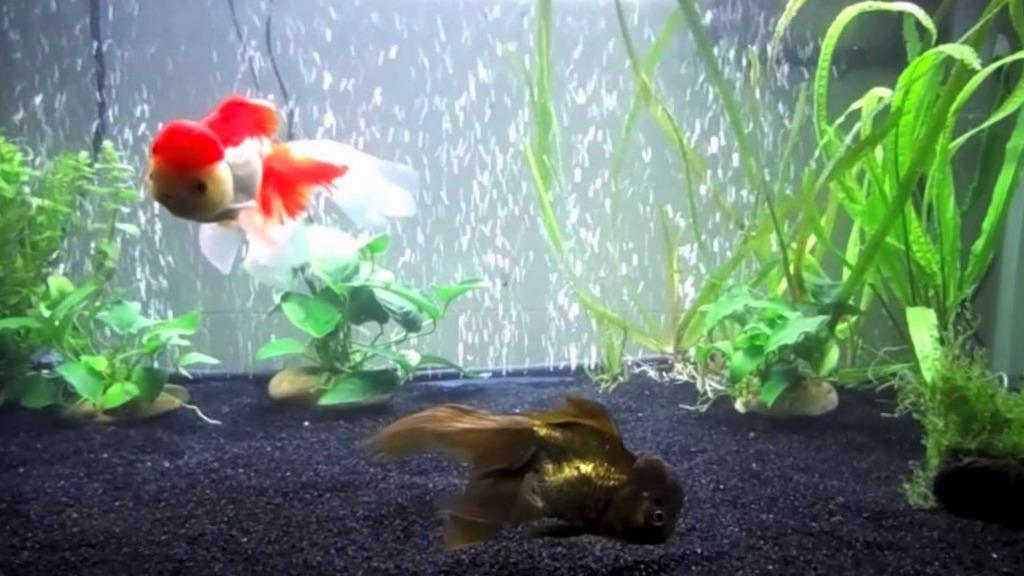 Pez Oranda Goldfish