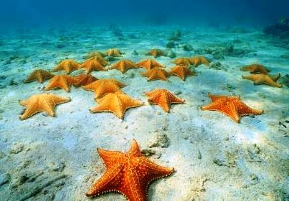 Estrella De Mar Características Hábitat Y Su Comportamiento