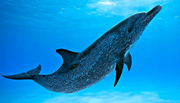 Delfín Moteado